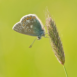 Common Blue at Draycote Meadow | by Andrew Haynes Wildlife Images