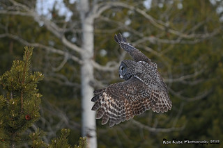 Great Gray Owl DSC_7909 | by Ron Kube Photography