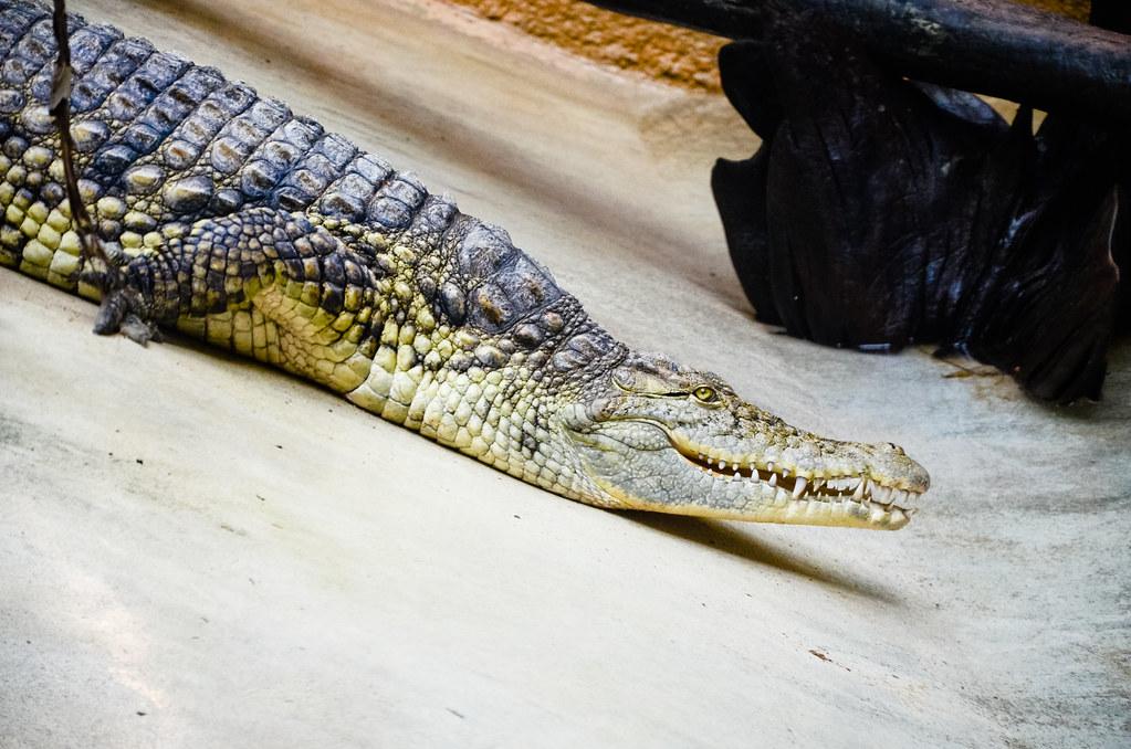 Crocodile de la ménagerie du Jardin des Plantes