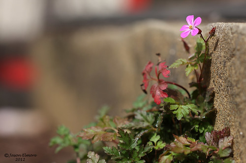 Herb-robert Geranium robertianum | by jel 1969
