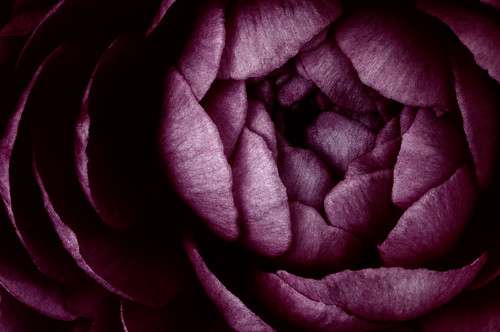 Midnight Rose | by dspindle