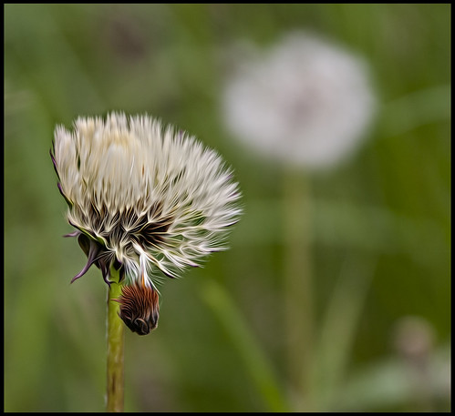 Done Dandelion! | by Luv 2 Flickr