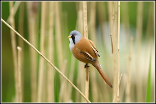 Bearded Tit - panurus biarmicus | by Linton Snapper