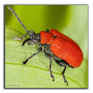 Red Lily Beetle | by Roland Bogush
