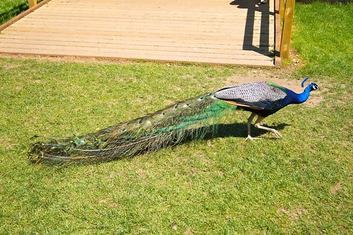Peacock @ Kew Gardens | by lazygamer