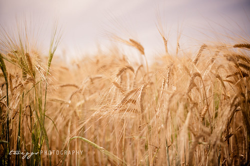 Golden Summer | by Hello Twiggs