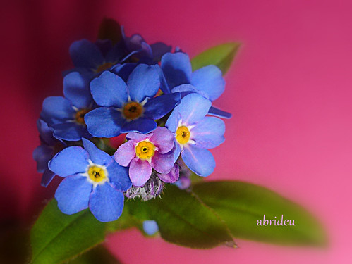 Forget-me-not | by abrideu