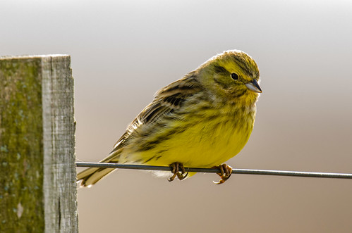 Yellowhammer | by mnielsen9000