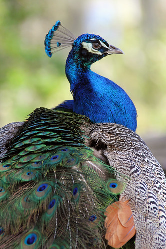 Peacock sitting pretty | by Daniela Duncan