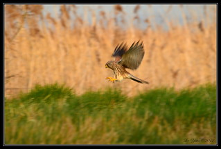 Diving Kestrel | by yateslx