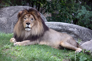 Lion 46_edited-1 | by mishaleppert