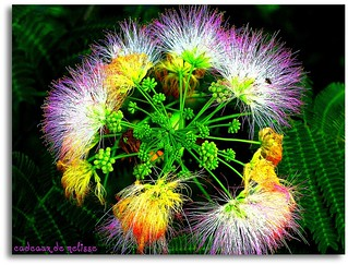MIMOSA (SILK TREE) ... Albizia julibrissin | by The Gifted Photographer