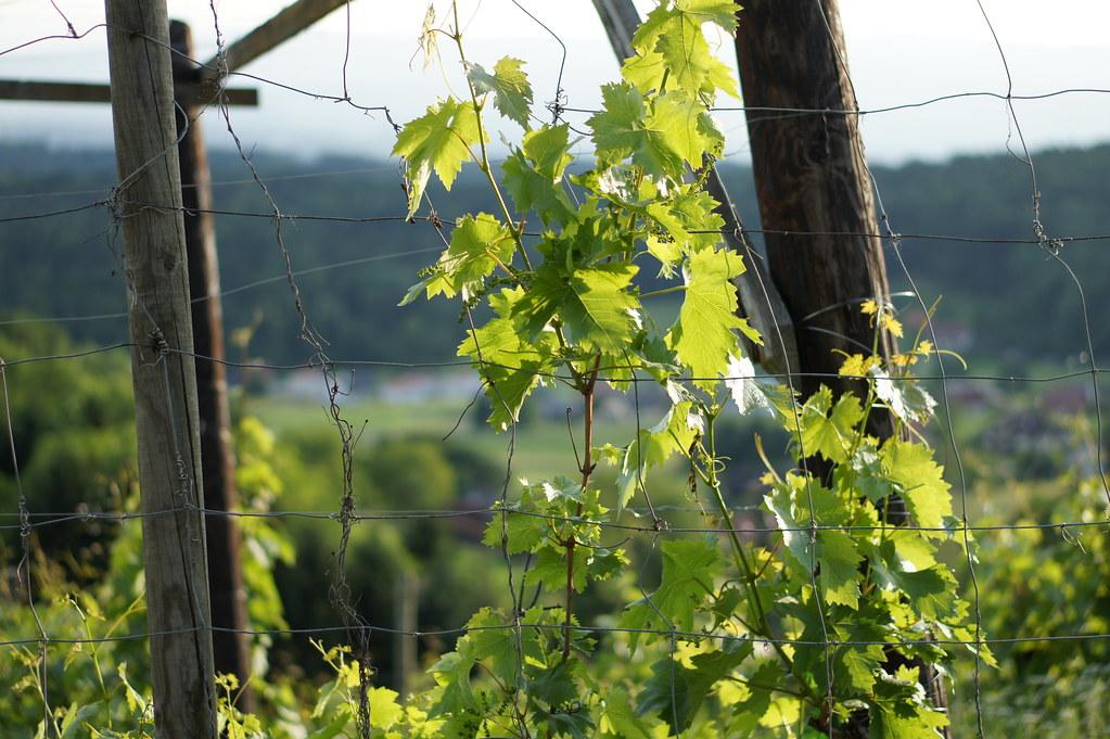 Barbed-wire vineyard