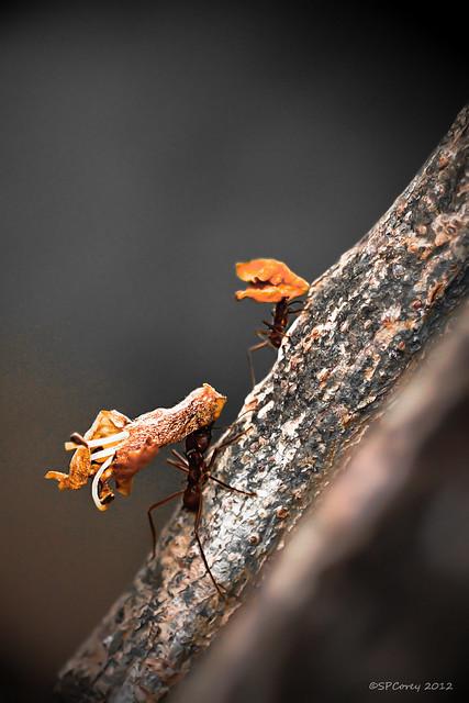 Flower Cutter Ants