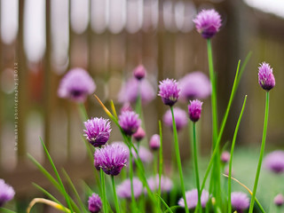Chive-keh | by w.mekwi photography [here & there]