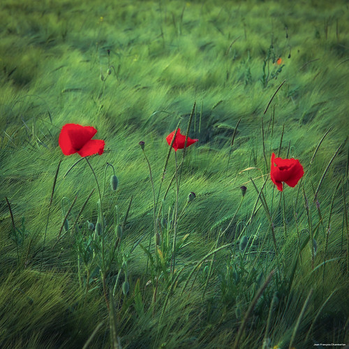 Poppies | by Jean-François Chamberlan