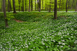 Wild garlic in beech wood | by andrewinpompey