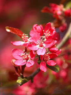 Pink Blossoms | by Rick & Bart