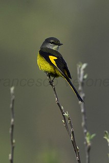 Short-billed Minivet fem - Bhutan 2012_S4E8350 | by fveronesi1