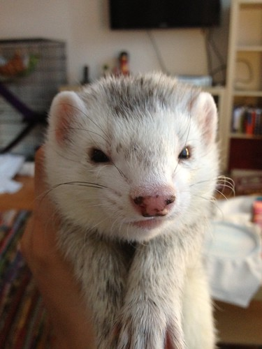 Serious Ferret | by KimStitch