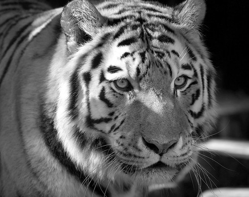 Portrait of a Tiger | by pwvisuals 