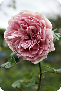 soft pink rose | by RMB<3