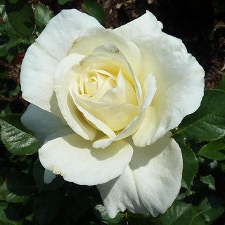 Chicago Botanic Garden, White Rose | by Mary Warren 9.6+ Million Views