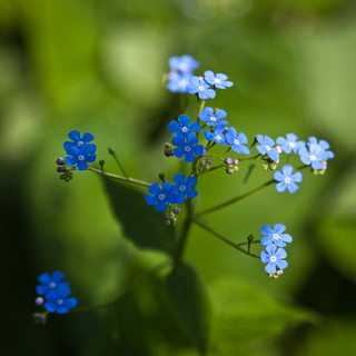 forget-me-not | by penwren