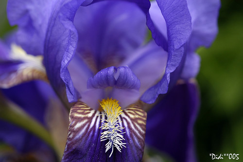 CLOSE UP OF A IRIS FLOWER | by *DIDI**005 very busy