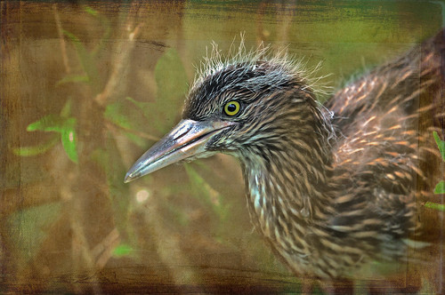 F_DSC1307-幼-Young-夜鷺-Night Heron-Textured Photography-L58cm-羽-Feather-翼-Wings-鳥-Bird-坪林-Pinling-新北市-New Taipei City-台灣-Taiwan-中華民國-Rep of China-Nikon D700-Nikkor 70-200mm-TC 14E II | by May-margy