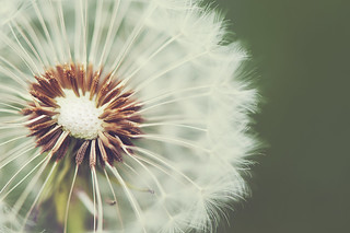 Dandelion (Explored - Thank you all!) | by memorïes