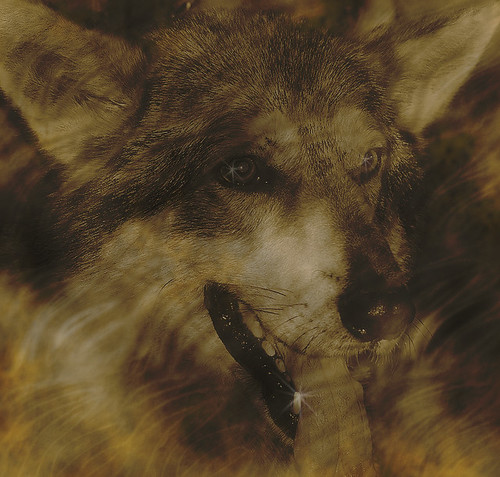 The Wolf (For Music Match group) | by fotofunk1
