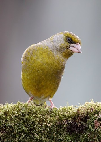 greenfinch | by Karen Summers (kaz10)