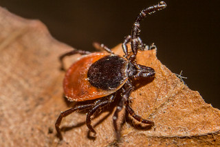 Female Blacklegged Tick | by Lennart Tange