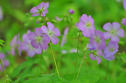 Purple Wild Flowers | by Eve'sNature