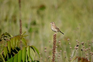 Vesper Sparrow | by jonner