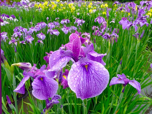 Iris Rainy Day:鸢尾花 | by love_child_kyoto