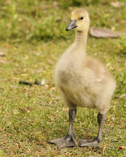 He will grow into his feet in a week or so | by Ducklover Bonnie
