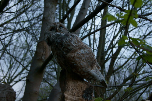 Tawny Owl At Dusk | by Robbob 2010