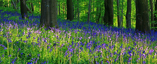 Bluebells | by Brian_Curran