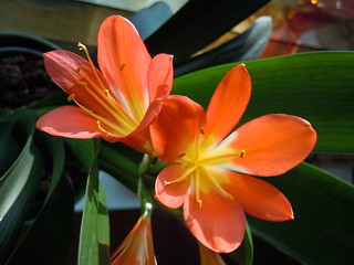 Clivia | by ast2009
