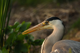 evening heron | by duck daddy
