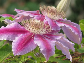 double clematis | by alfred ng (photos and paintings)