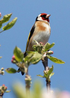 GOLDFINCH!! | by katiecappacino.... been a while again since ive do