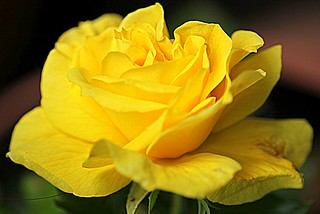 Yellow Rose | by Andrew Yearsley