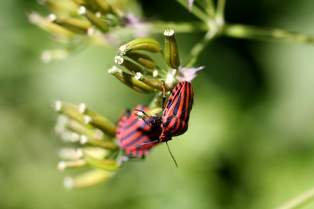 Two bugs, red
