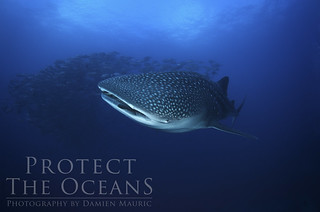 Coco Island - A whale shark on Alcyone | by Bigeye Bubblefish [  Addict  ]