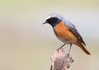 male redstart | by Karen Summers (kaz10)