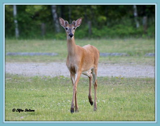 DSC00027  Male White-Tailed Deer   (Crossing my path while on a evening hike) | by Cliff's Photography, Welcome to my stream!