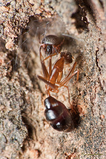 Spider with Ant meal | by vipin baliga
